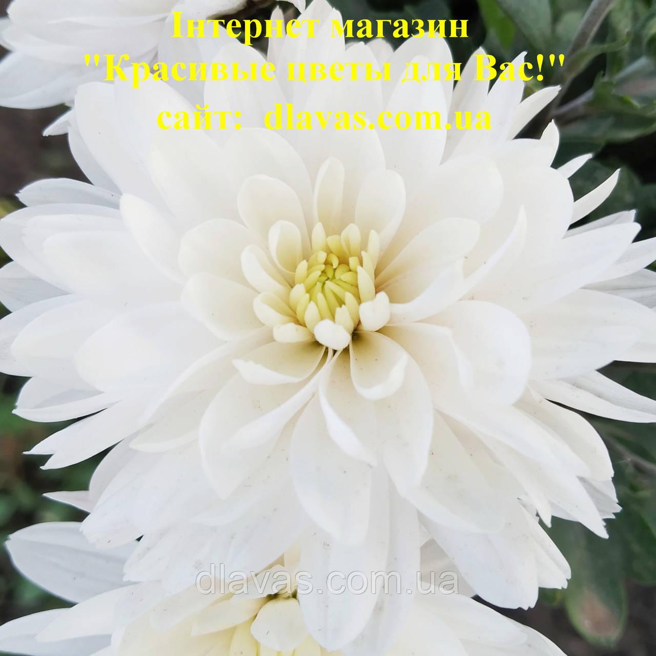 Мультифлора  белая крупная МАРМЕЛАДА