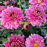 Хризантема бордюрная МАЛЫШКА, фото 2