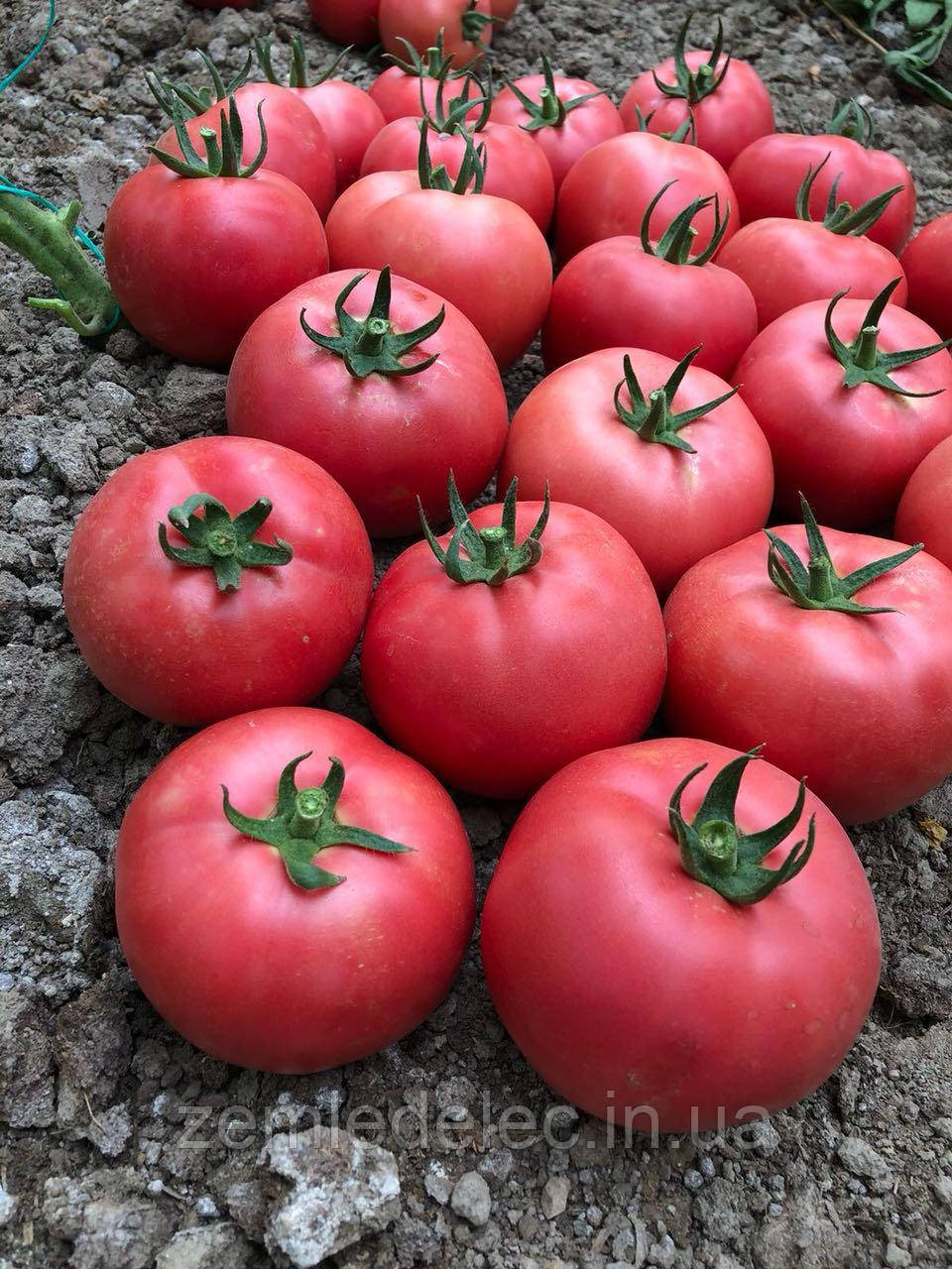 Сим - Сим (777) томат розовый 100 сем. Ерсте Заден