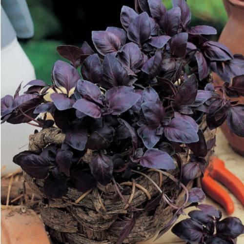 Червоний Рубін насіння базиліка (Hem Zaden).
