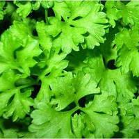 Слоуболт насіння коріандра (кінзи) (Hem Zaden)