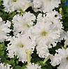Насіння Петунія грандіфлора Афродіта F1, біла, 10 гранул. Cerny (Чехія)