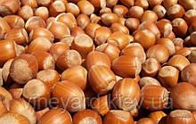 Саженцы фундука сорт Дар Павленко, тонкокорый, продолговатый урожайный лесной орех. Двух и Трехлетние