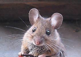 Как избавиться от крыс и мышей ? Грызущие вредители !