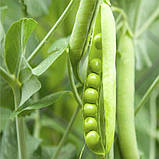 Горох Дамир семена 0,5 кг, фото 2