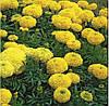 Насіння Чорнобривці Купідон, жовті, 0,2 г. Hem Zaden (Голландія)