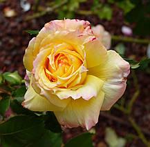 Роза Виолон де Ингресс (Violon d'Ingres) ч/г, фото 2