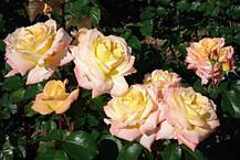 Роза Виолон де Ингресс (Violon d'Ingres) ч/г, фото 3