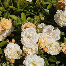 Роза Гислен Де Фелигонд (Ghislaine de Feligonde') Плетистая, фото 3