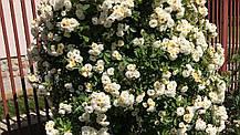 Роза Гислен Де Фелигонд (Ghislaine de Feligonde') Плетистая, фото 2