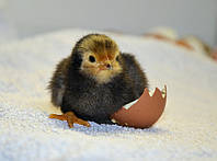 Цыплята бройлеры падают на ноги. Что делать?