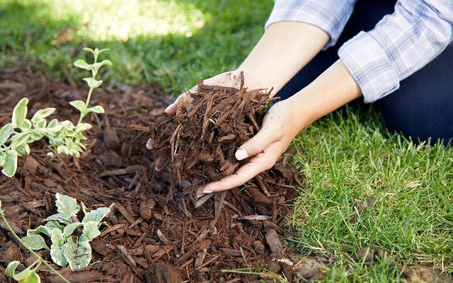 Мульчирование растений для защиты от мороза без снега осенью