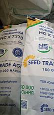 Купити ранньостиглий, тривалість соняшника НС Х 7634 Сербська селекція, євролайтинг, фото 3