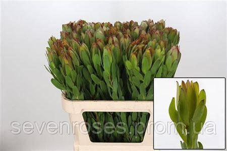 Лейкодендрон Зелёный 80см
