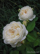 Роза Глемис Кастл (Glamis Castle) Анг., фото 2
