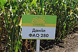 Семена кукурузы Даниил ФАО 280, фото 2