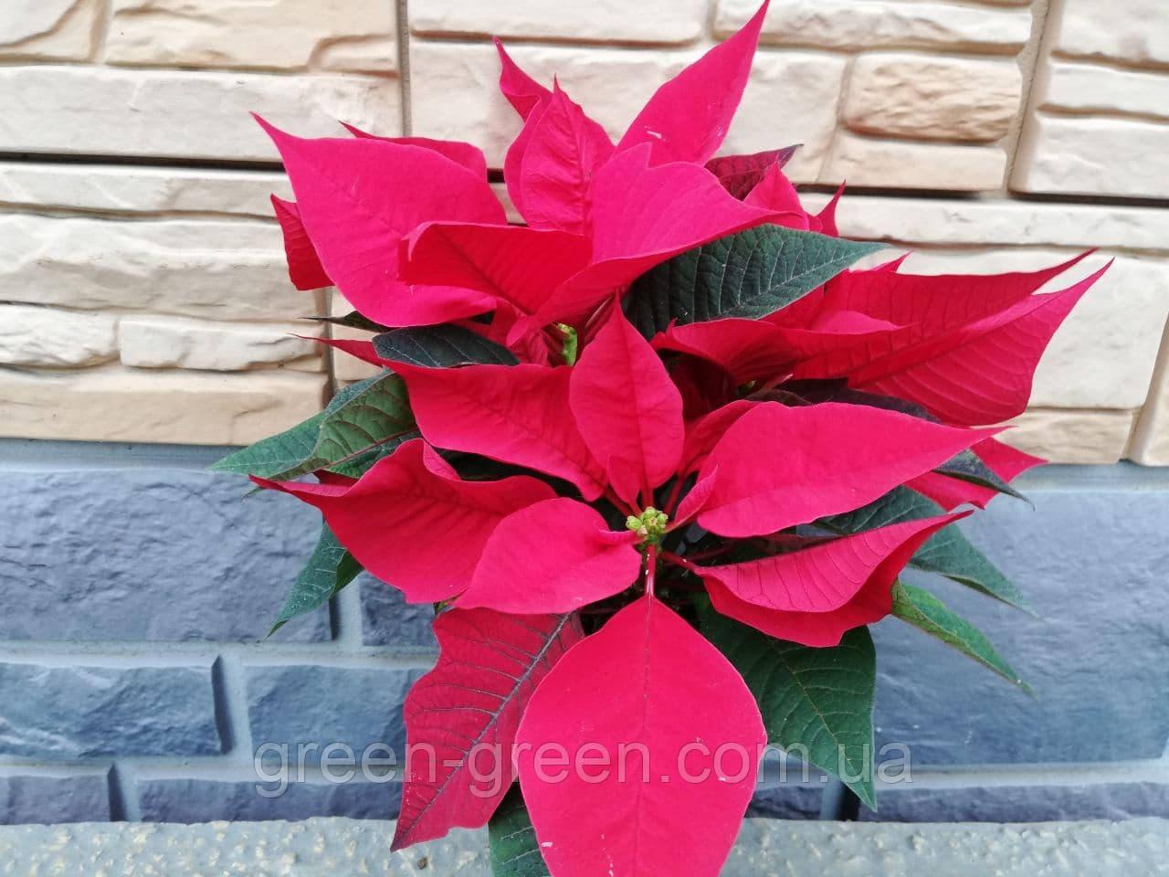 Пуансеттия красная (Рождественская звезда)