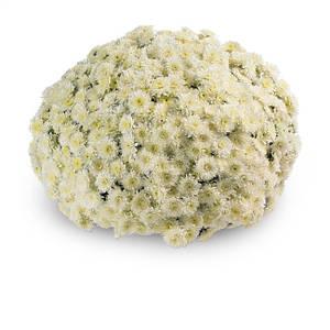 Саджанці Хризантема Multiflora Avalon Cream Розсада касета (100шт)
