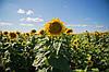 Семена подсолнечника гибрид - ЗЛАТСОН (Экстра фракция, Юрьева), фото 6
