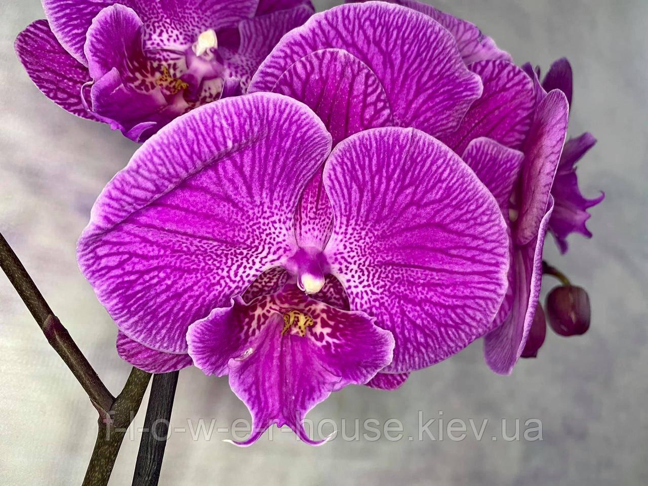 Орхидея Мега крутый биг лип
