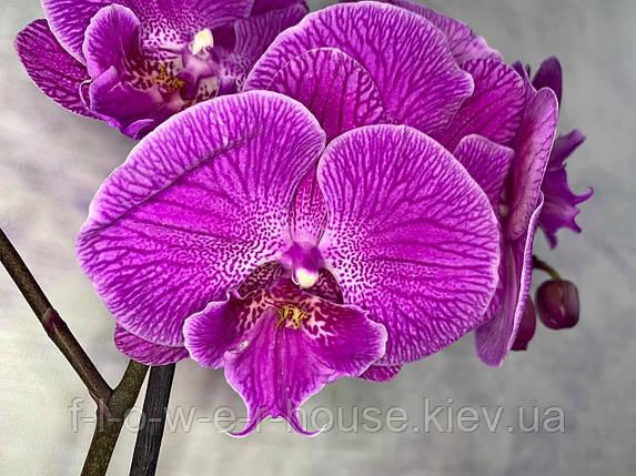Орхидея Мега крутый биг лип, фото 2