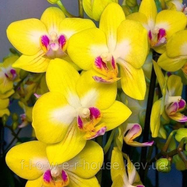 Орхидея Phal. Yen Shuai Sweet Girl 'Shiny Girl'