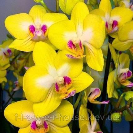 Орхидея Phal. Yen Shuai Sweet Girl 'Shiny Girl', фото 2