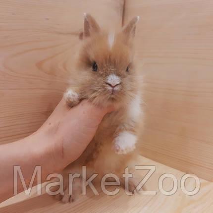"""Карликовый торчеухий кролик,порода """"Львиная голова"""",окрас """"Бело-оранж."""",возраст 1,5мес.,девочка, фото 2"""