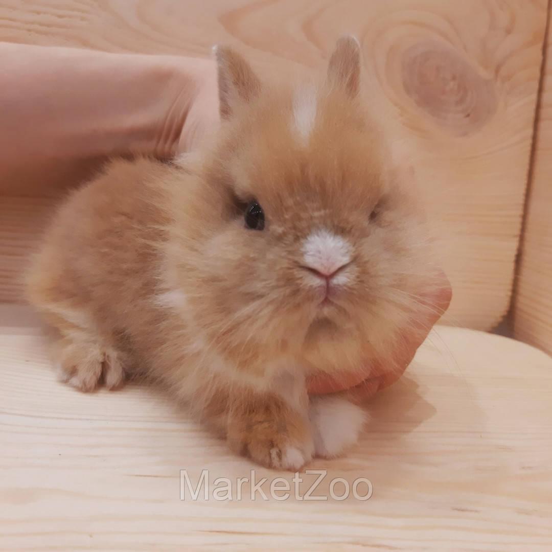"""Карликовый торчеухий кролик,порода """"Львиная голова"""",окрас """"Бело-оранж."""",возраст 1,5мес.,девочка"""