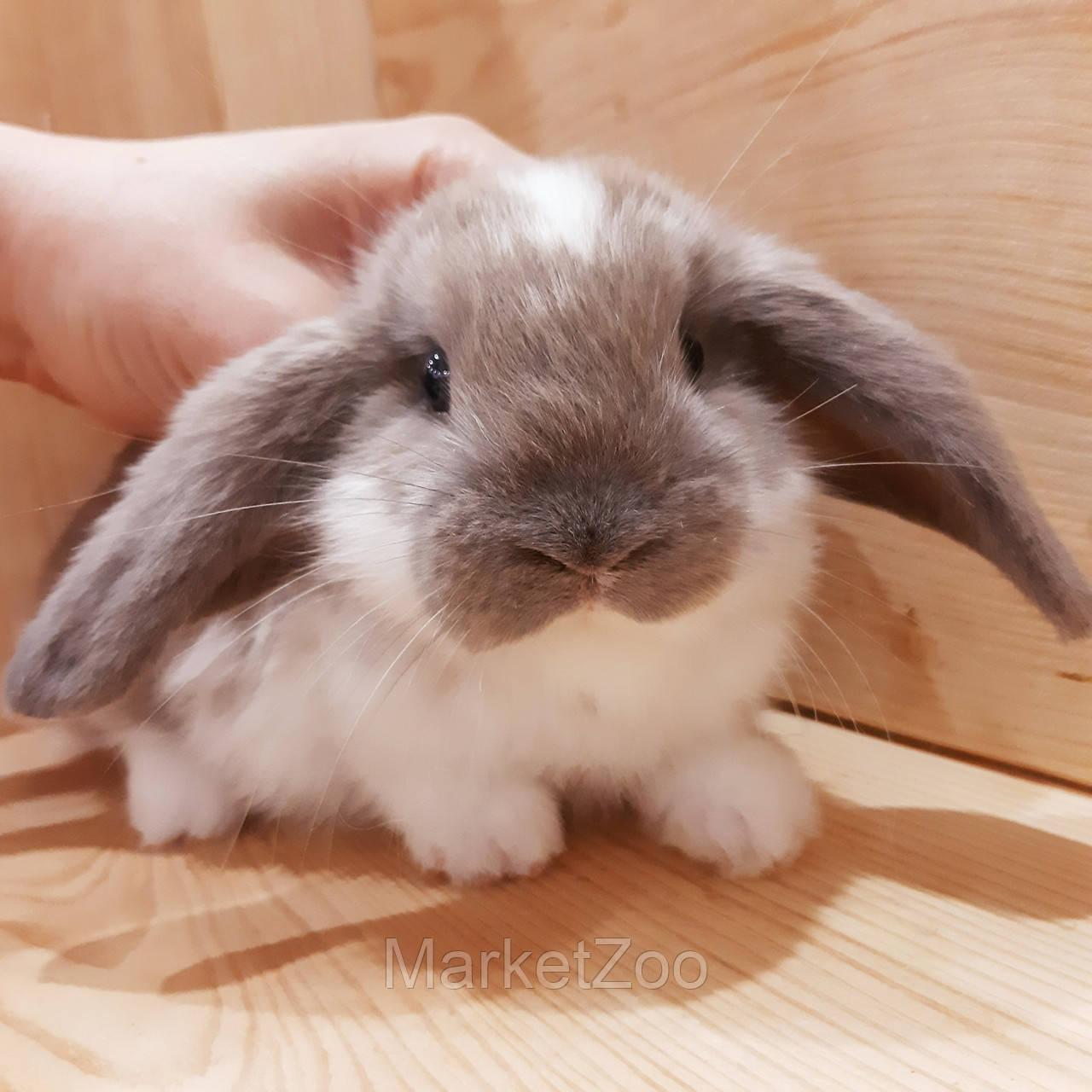 """Карликовый вислоухий кролик,порода """"Вислоухий баранчик"""",окрас """"Бело-лиловый"""",возраст 1,5мес.,девочка"""