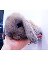 """Карликовый вислоухий кролик,порода """"Вислоухий баранчик"""",окрас """"Лиловый"""",возраст 1,5мес.,мальчик, фото 3"""