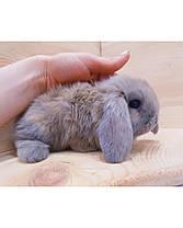 """Карликовый вислоухий кролик,порода """"Вислоухий баранчик"""",окрас """"Лиловый"""",возраст 1,5мес.,мальчик, фото 2"""