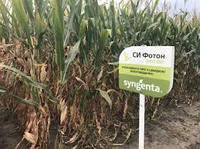 Семена кукурузы Си Фотон, ФАО 260, фото 1