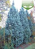 Picea pungens 'Iseli Fastigiate', Ялина блакитна 'Ізелі Фастігіате',C5 - горщик 5л, фото 2