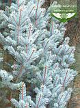 Picea pungens 'Iseli Fastigiate', Ялина блакитна 'Ізелі Фастігіате',C5 - горщик 5л, фото 4