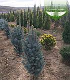Picea pungens 'Iseli Fastigiate', Ялина блакитна 'Ізелі Фастігіате',C5 - горщик 5л, фото 5