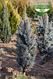 Picea pungens 'Iseli Fastigiate', Ялина блакитна 'Ізелі Фастігіате',C5 - горщик 5л, фото 6