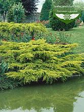 Juniperus chinensis 'Pfitzeriana Aurea', Ялівець китайський 'Пфітцеріана Ауреа',C5 - горщик 5л