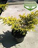 Juniperus chinensis 'Pfitzeriana Aurea', Ялівець китайський 'Пфітцеріана Ауреа',C5 - горщик 5л, фото 2