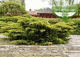 Juniperus chinensis 'Pfitzeriana Aurea', Ялівець китайський 'Пфітцеріана Ауреа',C5 - горщик 5л, фото 3