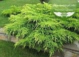Juniperus chinensis 'Pfitzeriana Aurea', Ялівець китайський 'Пфітцеріана Ауреа',C5 - горщик 5л, фото 4