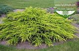 Juniperus chinensis 'Pfitzeriana Aurea', Ялівець китайський 'Пфітцеріана Ауреа',C5 - горщик 5л, фото 5
