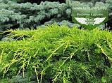 Juniperus chinensis 'Pfitzeriana Aurea', Ялівець китайський 'Пфітцеріана Ауреа',C5 - горщик 5л, фото 6