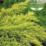 Juniperus chinensis 'Pfitzeriana Aurea', Ялівець китайський 'Пфітцеріана Ауреа',C5 - горщик 5л, фото 7