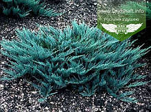 Juniperus horizontalis 'Blue Chip', Ялівець повзучий 'Блу Чіп',C5 - горщик 5л