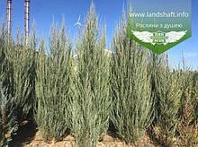 Juniperus scopulorum 'Skyrocket', Ялівець скельний 'Скайрокет',P7-Р9 - горщик 9х9х9