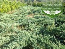 Juniperus virginiana 'Grey Owl', Ялівець віргінський 'Грей Овл',P7-Р9 - горщик 9х9х9