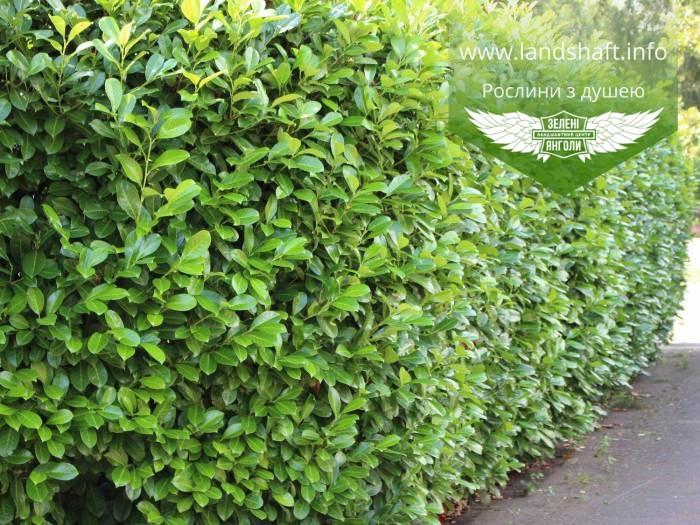 Prunus laurocerasus 'Novita', Лавровишня 'Новіта',C5 - горщик 5л