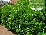 Prunus laurocerasus 'Novita', Лавровишня 'Новіта',C5 - горщик 5л, фото 2