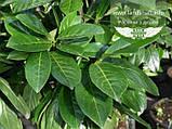 Prunus laurocerasus 'Novita', Лавровишня 'Новіта',C5 - горщик 5л, фото 3